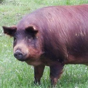 伊比利亞 黑毛豬肉